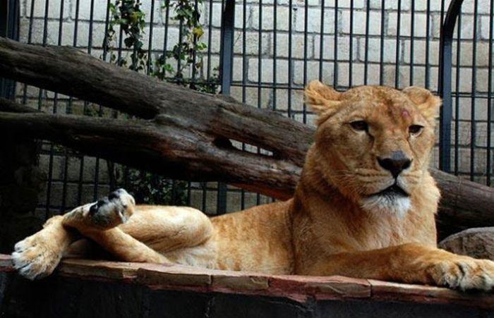 8 Leijonaa